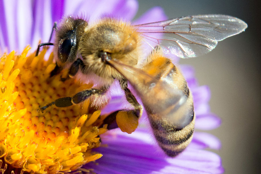 Closeup of a bee on a flower