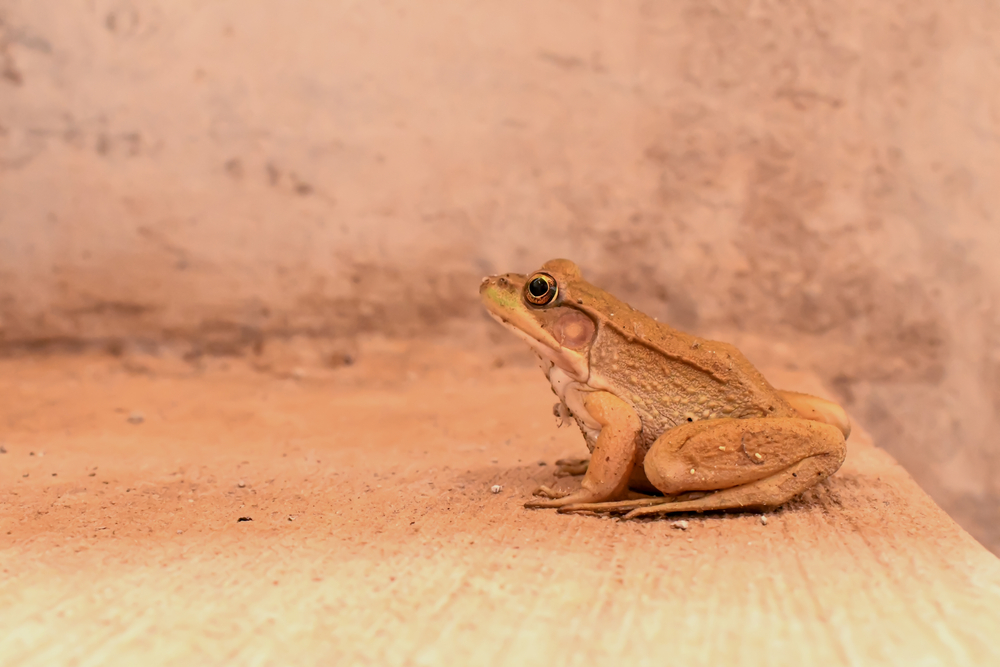 Brown frog sitting on a step